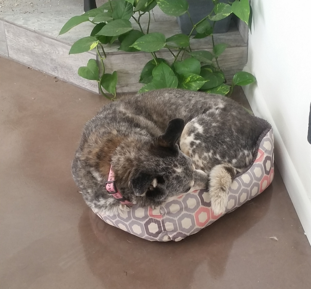 Big dog in a small bed.