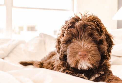 Dog in the bed of hotel chains for pets in America