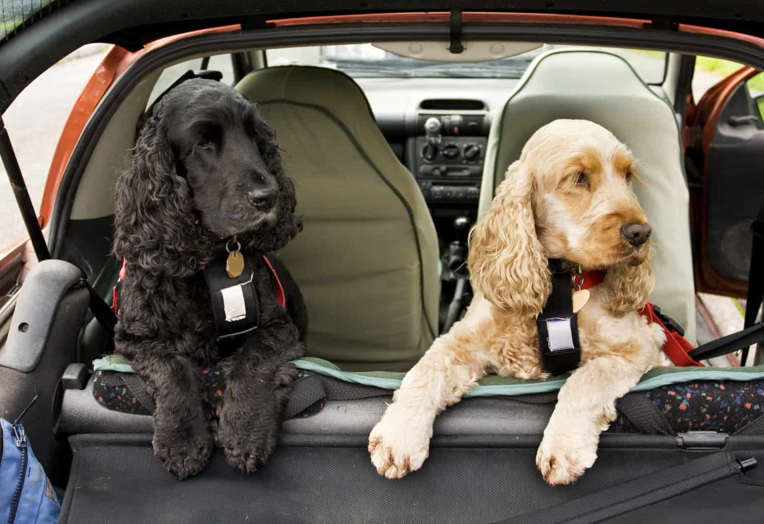 Black and gold cocker spaniel dogs in the back of the car