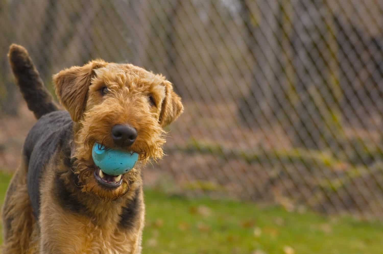 Playful dog from Airedale Terrier with a ball in his mouth