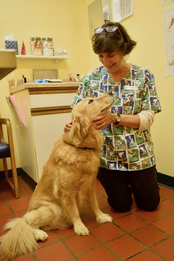 Dear golden retriever, he looks with love at his veterinarian, Dr. Armao.