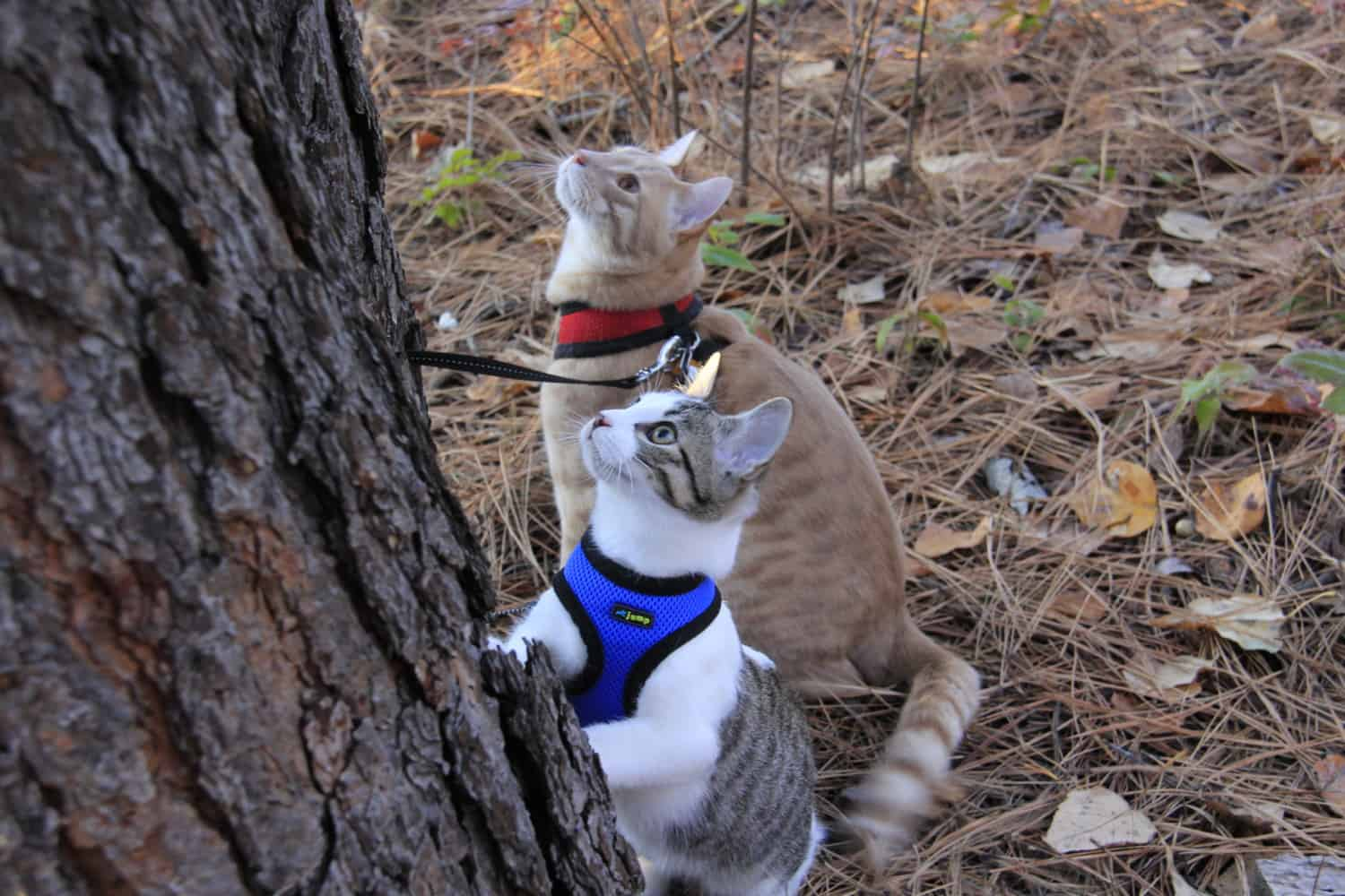 Choosing the right belt for your cat