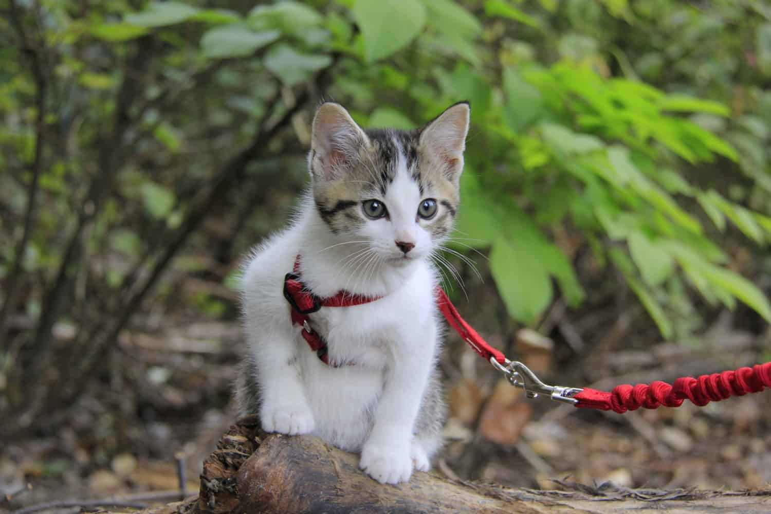 Traveling cat in a small red harness