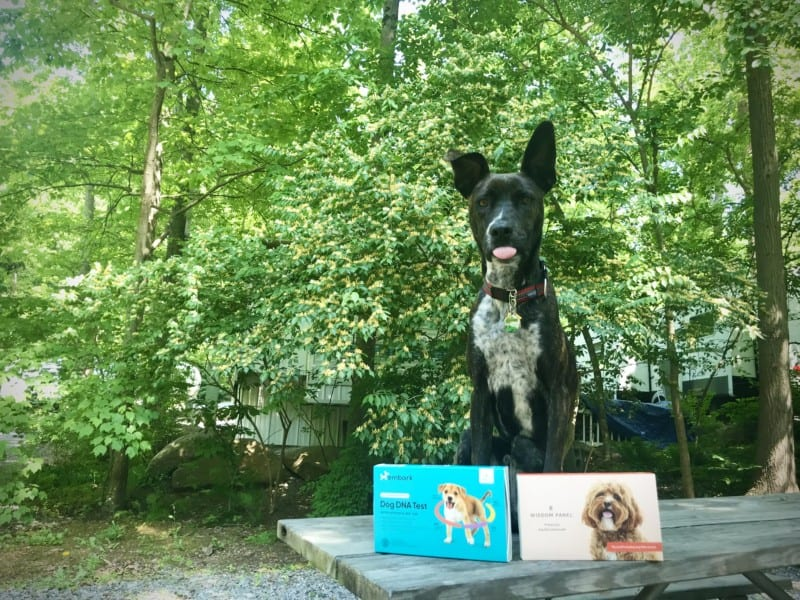 A tiger dog sitting at a picnic table with two sets of canine DNA tests