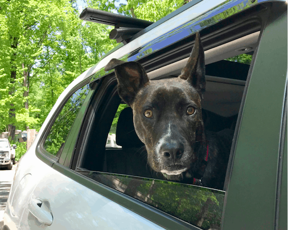 A tiger dog in the back seat of a car while traveling cross-country