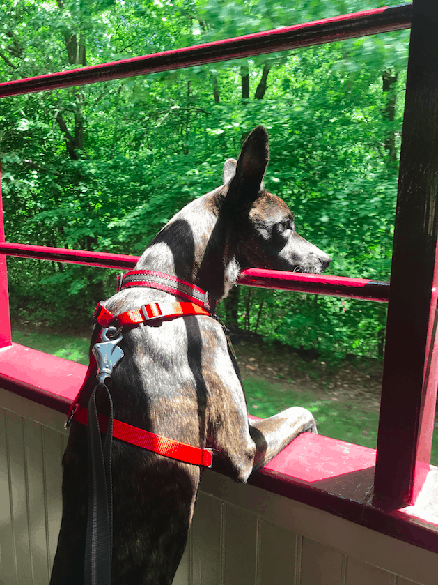 Tiger dog in a red belt at the scenic Leigh Gorge Railroad in Jim Thorpe, Pennsylvania