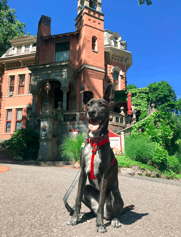 A tiger dog in a red harness in front of a historic home in Jim Thorpe, Pennsylvania