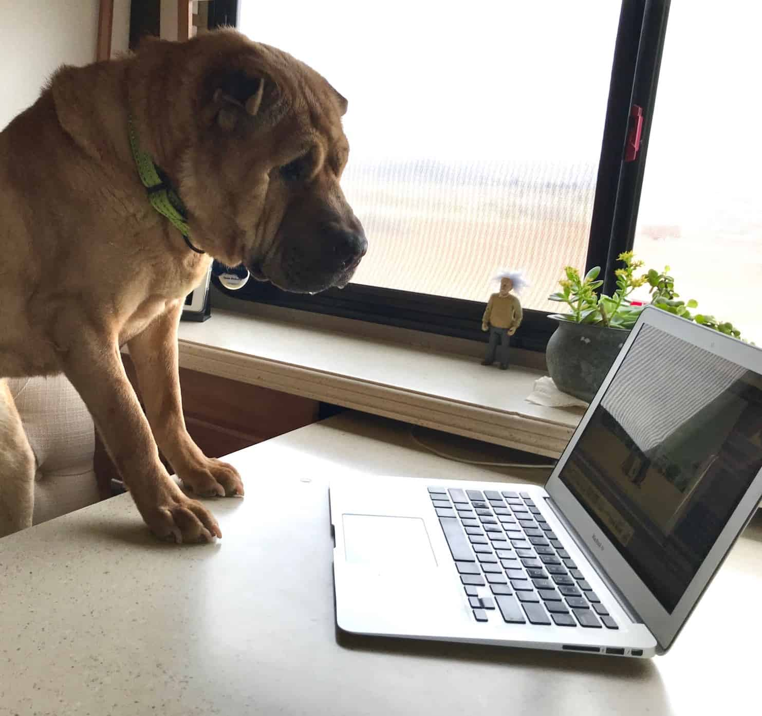 Sharpei dog watching laptop sitting at desk - supposedly reading reviews for holiday pets
