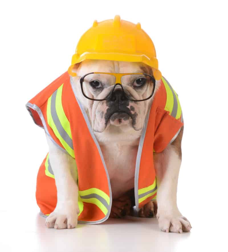 working dog - a bulldog dressed as a builder on a white background