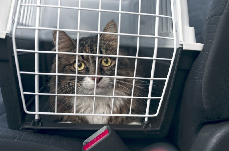Tabi cat in a carrier in a rental car for pets