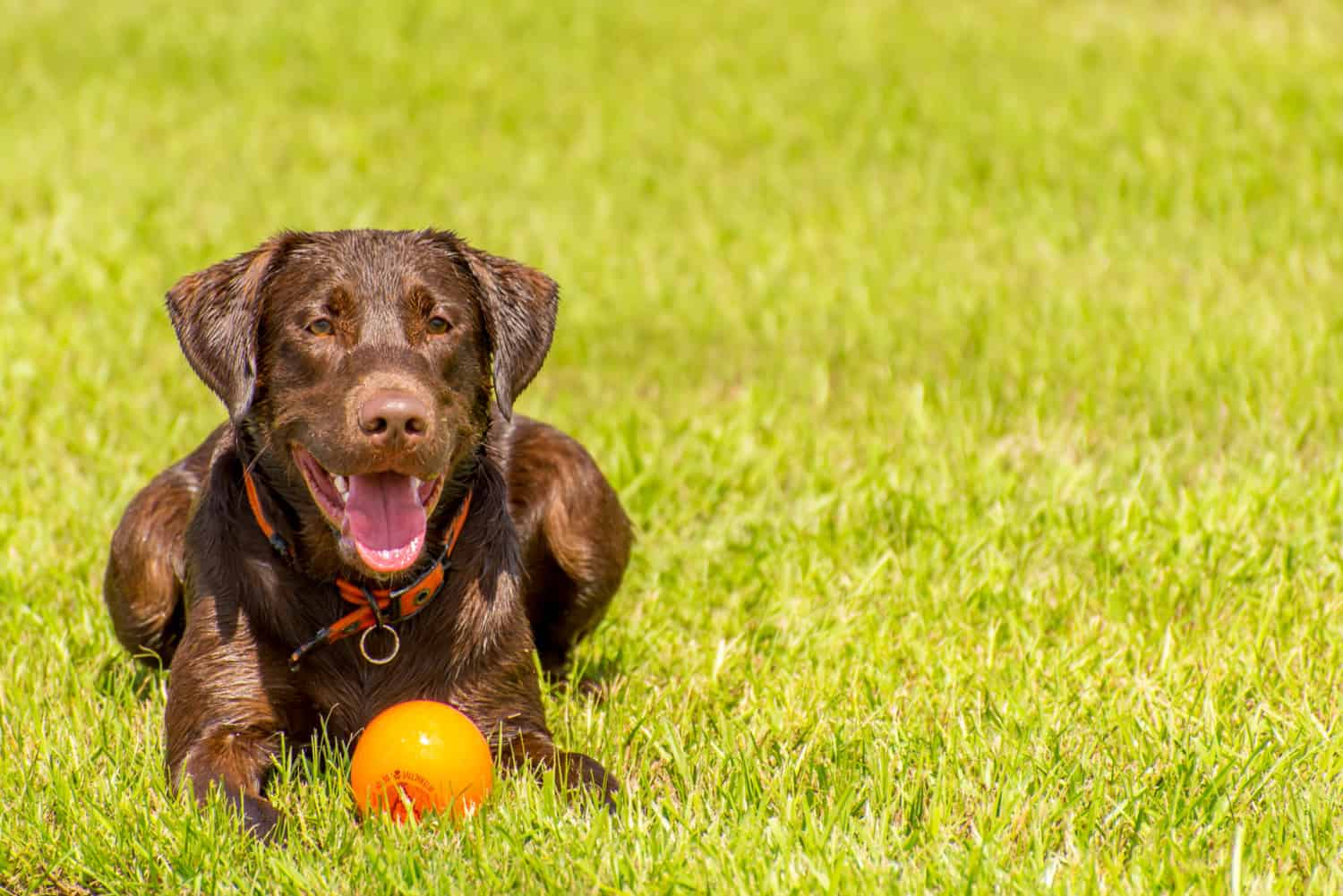 Chocolate Labrador dog lying in the wet grass with an orange ball
