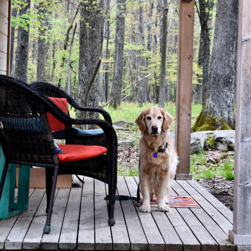 Golden Retriever in a glamorous hut suitable for pets
