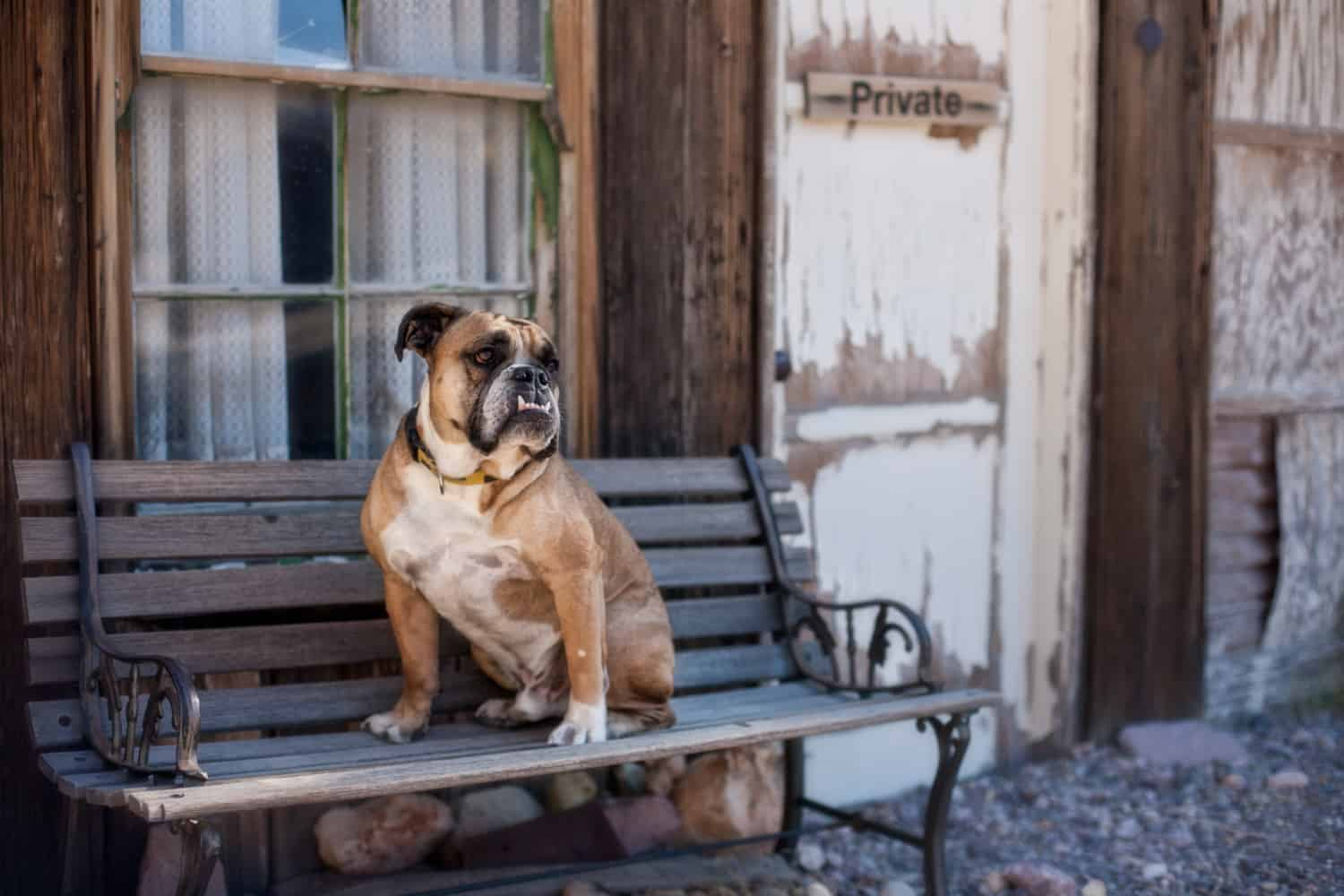 Bulldog sitting on a bench in a ghost town, suitable for pets